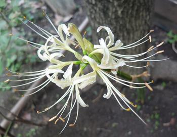 Cluster amaryllis0920.JPG