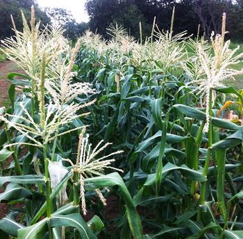 Corn0717.jpg