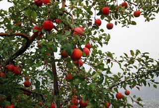 apple1119.JPG